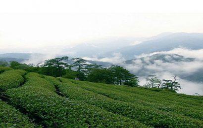 台灣高山茶:不同的茶區品質也不同