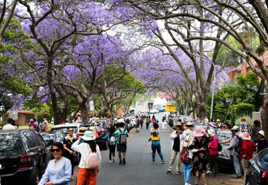 雪梨藍花楹名街人潮如鰂 市議會豎牌提醒勿阻馬路